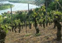 Vue des vigne au pied du Pilat